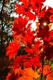 Automne orange de feuille rouge, arbres oranges et solaires la branche, feuille d'érable, Primorsky Krai Images libres de droits