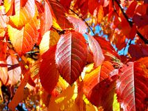 Automne rouge Photo stock