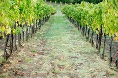 Automne tôt de vignoble toscan Photographie stock libre de droits