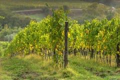 Automne tôt de vignoble toscan avec la rangée des raisins Image libre de droits