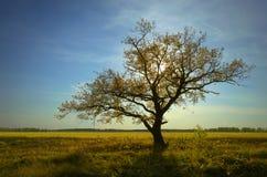 Automne un chêne solitaire et des herbes sèches sous un ciel bleu Images libres de droits