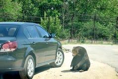 Automobile e poco orso Fotografie Stock Libere da Diritti