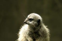autour de regarder le meerkat Images stock