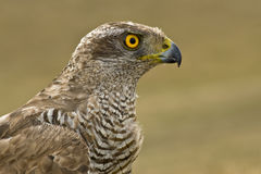 Autour nordique (gentilis d'Accipiter) Photos stock