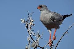 Autour pâle de chant, Namibie Photo libre de droits