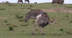 Autruche, camelus de Struthio, femelles, cour montrant avant l'accouplement, masai Mara Park au Kenya, banque de vidéos