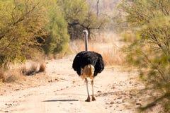 Autruche d'Afrique du Sud, parc national de Pilanesberg l'afrique photographie stock