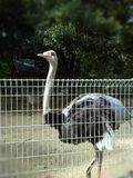 Autruche dans le zoo Photographie stock