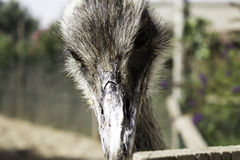 Autruche dans le zoo Images libres de droits