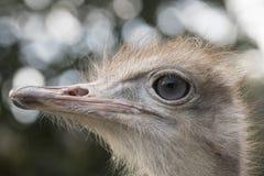 Autruche dans un zoo photographie stock