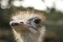 Autruche dans un zoo image libre de droits