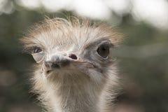 Autruche dans un zoo photographie stock libre de droits