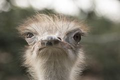 Autruche dans un zoo photos stock
