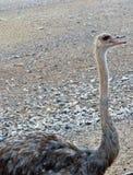 Autruche en Sir Baniyas Island Reserve Photographie stock