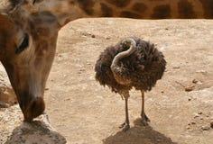 Autruche encadrée par une girafe Photo stock
