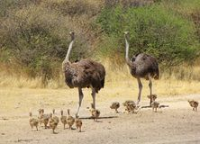 Autruche - mamans animales Photographie stock