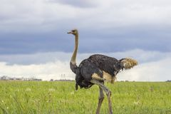 Autruche marchant dans l'herbe verte image libre de droits