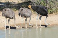 Autruche - oiseaux sauvages d'Afrique - plumes alignées Images stock