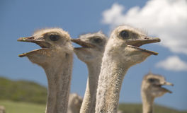 Autruches dans le Karoo de Klein, Afrique du Sud Photo stock