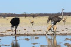 Autruches et springbok au point d'eau Image stock