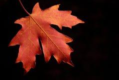 autum叶子槭树 免版税库存照片