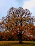 Autum金黄叶子树橡木摘要 库存图片