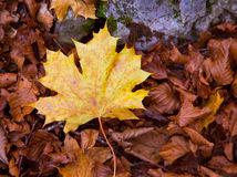 Autum alamo yellow leaf in a beech forest Pyrenees Ordesa Royalty Free Stock Images