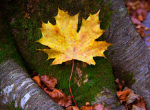 Autum alamo yellow leaf in a beech forest Pyrenees Ordesa Royalty Free Stock Image