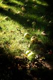 Autum appels in garden. Autum in garden Fallen appels in the autumn grass, dark shadows stock image