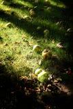 Autum appels im Garten Stockbild
