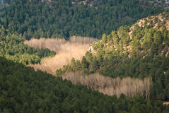 Autum. N trees in a landscape with pines Stock Images