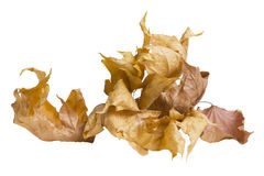 Autum Background Maple Leaf. Isolated on white Stock Photography