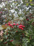 Autum berries Royalty Free Stock Photography