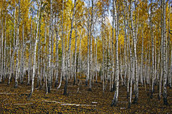 Autum birch forest. Royalty Free Stock Photos