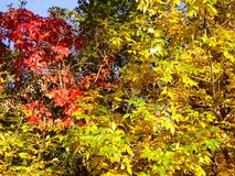 Autum Colors 621. Beautiful changing Autum colors in Colorado Royalty Free Stock Photography