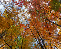 Autum colors, tree tops Royalty Free Stock Image