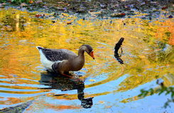 Autum duck Royalty Free Stock Photography