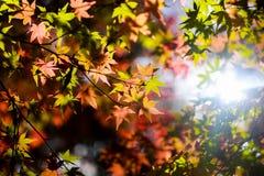 Autum, estação, natureza, ambiente, verde, vermelho, nsw, sydney, Austrália, dia, ensolarado, preguiçoso, feriado, exterior, curs Imagem de Stock Royalty Free