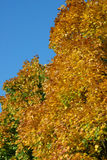Autum fall leaves Royalty Free Stock Photo
