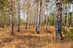 Autum forest Royalty Free Stock Photo