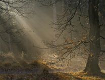 Autum forest light. Autumn has started, the leaves are dalling and nature provides some amazing sunrays to highlight the season Royalty Free Stock Photo
