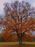 Autum golden leaf tree oak abstract Stock Image