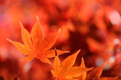 Autum Leaf of Japanese Maple. Autumn leaf of Japanese Maple. Red and orange background Stock Photography