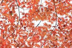 Autum Leaf of Japanese Maple. Autumn leaf of Japanese Maple with white background royalty free stock photo