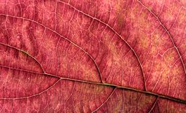 Autum Leaf Macro. 1:1 Macro of an Autumn Leaf Royalty Free Stock Photography