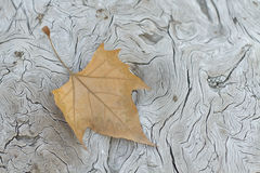 Autum leaf. A leaf over a texturized tree Royalty Free Stock Photo
