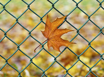 Autum leaf trapped on a wire. Fallen autumn maple leaf trapped on a fence wire Royalty Free Stock Images