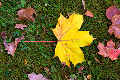 autum leafs klon Zdjęcia Royalty Free
