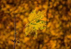 Autum leave Royalty Free Stock Images