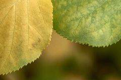 Autum leave closeup Royalty Free Stock Image